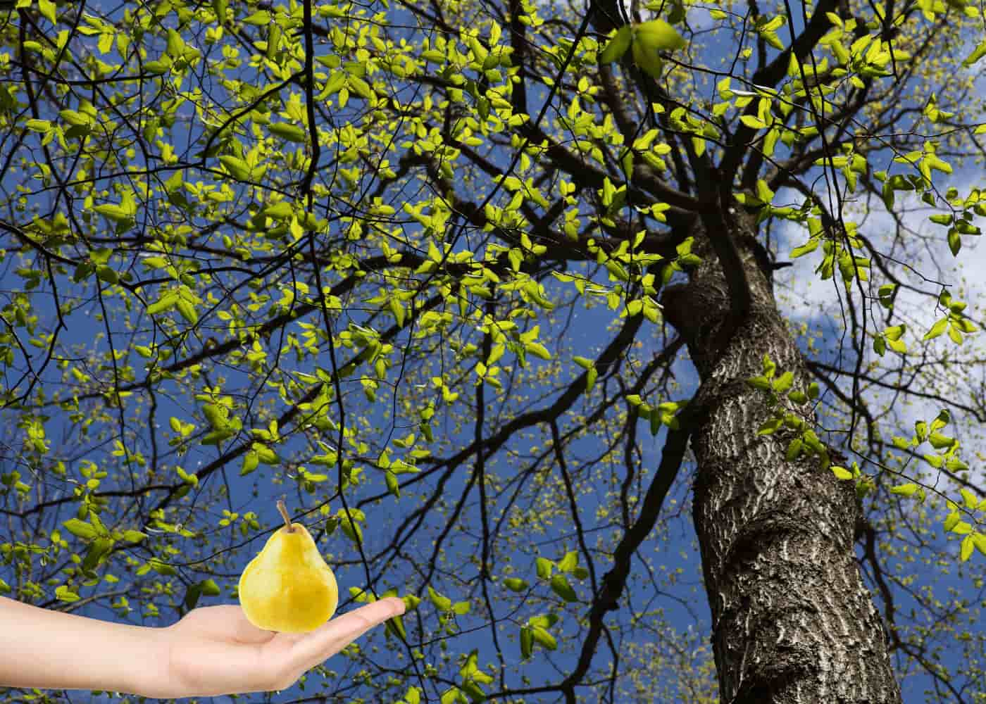 Elm tree and a hand holding a pear